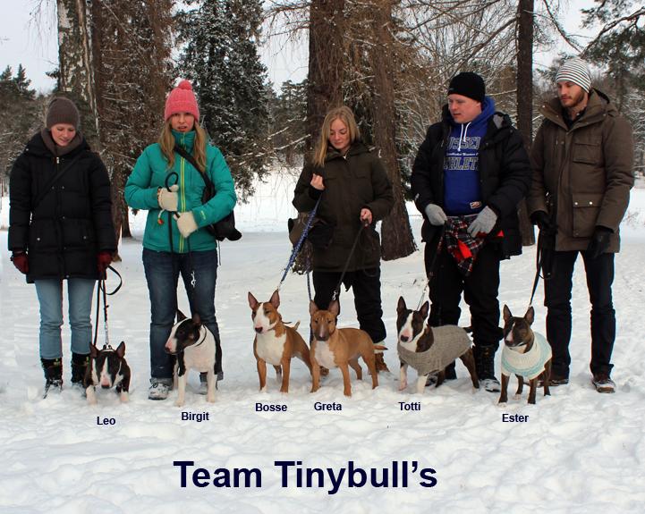 Tinybull's Tinybulls miniatyrbullterrier miniatyr bullterrier
