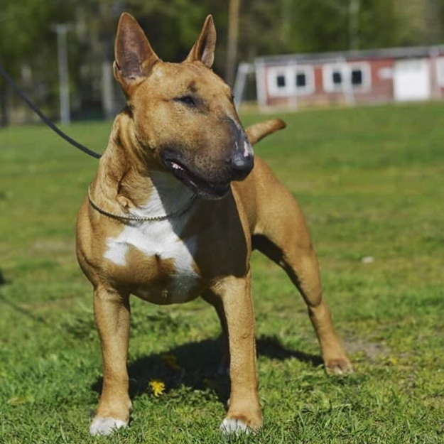 Tinybulls | – Home of quality miniature bull terriers